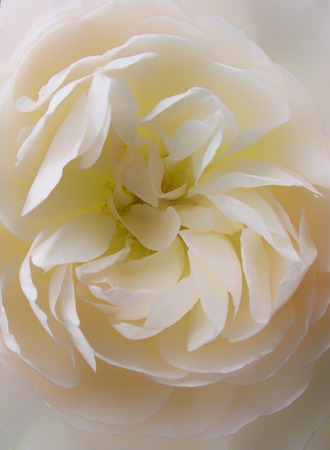 center of a single pale rose in close up Stock Photo
