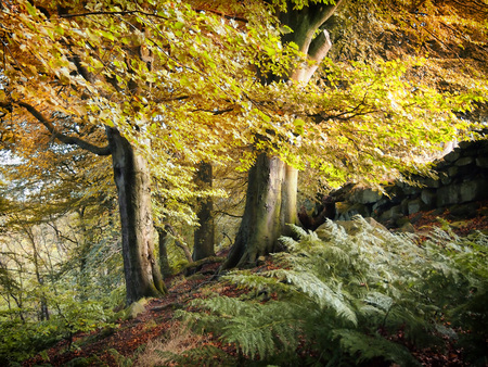 autumn british woodland on a hillside with a stone wall