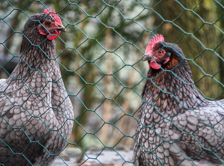 two chickens behind a wire fence in a cage Stock Photo