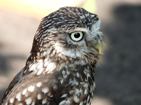 little owl close up shot in daylight showing face