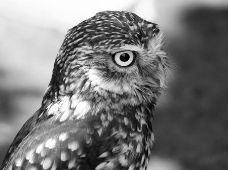 little owl in profile close up Stock Photo