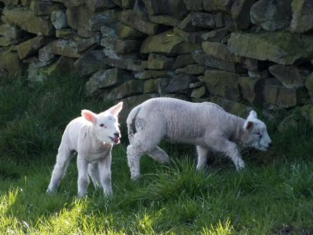 lake district england: two spring lambsnaear a stone wall with grass and sunlight Stock Photo