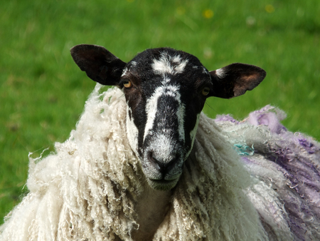 close up of black faced sheep with long coat in a field