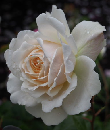 pale white rose with raindrops