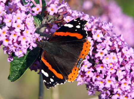 purple buddleia flowers and tortoiseshell butterfly feeding on it with wings outstretched in england in late summer Stock Photo