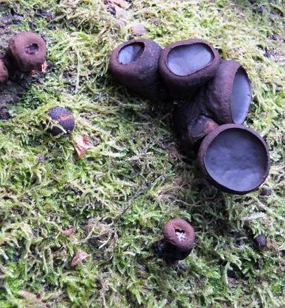 腐敗したブナの木を覆った苔の上に成長する黒いブルガリアの真菌