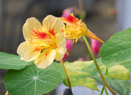 two yellow and red nasturtiums in close up in a garden in autumn