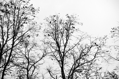 crows roosting in a winter tree with white sky Foto de archivo