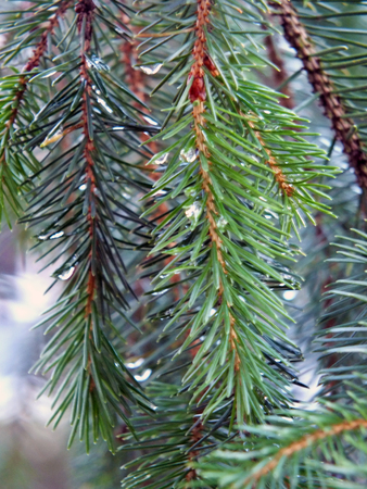 pine tree branches with rain drops of morning dew on a cold winters day in close up