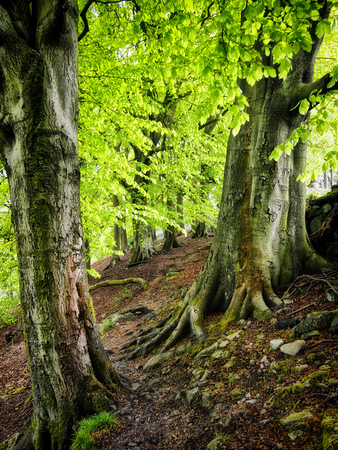 ancient beech forest with bright green verdant spring leaves with tall trees with moss covered back and roots in yorkshire england Stock Photo