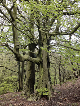 tall old stately beech trees with vibrant green spring leaves moss covered bark and large roots in hillside forest in yorkshire england