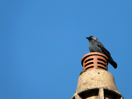 a common Eurasian jackdaw perched on a chimney with bright blue sky Stock Photo