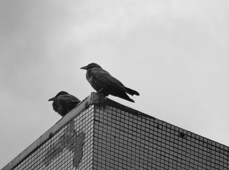 two carrion crows perched on top of an urban building