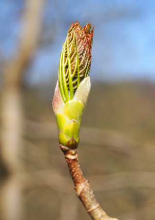 the budding leaf of a sycamore tree in april Stock Photo