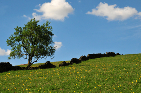 A single tree growing on a grass covered hill with yellow flowers with an old dry stone wall running up the slope with a bright blue spring sky with white clouds in the yorkshire dales