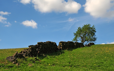 a single tree growing at the top of a grass covered hill with yellow flowers with an old dry stone wall running up the slope with a bright blue spring sky with white clouds in the yorkshire dales Stock Photo