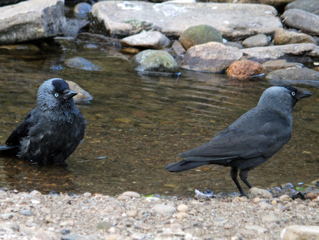 Two jackdaws next to a riverbank with one sat in the water 스톡 콘텐츠