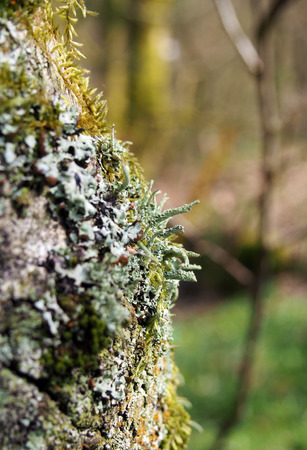 Close up of the trunk of a silver birch tree with cracked bark covered in different kinds off colorful lichens and mosses with a blurred woodland background Stock Photo