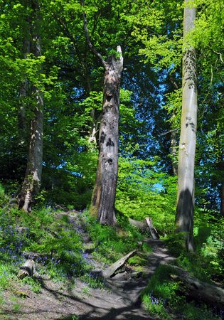 Bright sunlit spring woodland with tall beech trees on a hill with vibrant green new foliage with bluebells and shadows on the forest floor and blue sky behind the leaves