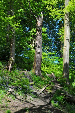 Bright sunlit spring woodland with tall beech trees on a hill with vibrant green new foliage shadows on the forest floor and blue shy behind the leaves Stock Photo