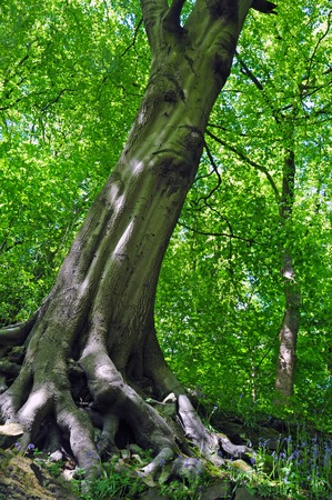 Tall spring woodland beech tree with vibrant green leaves growing at a steep angle on a hillside with blue sky Stock Photo