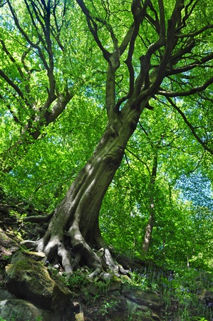 Tall spring woodland beech trees with vibrant green leaves growing at a steep angle on a hillside with blue sky