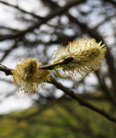 Close up of catkins or male flowers of a pussy willow in April in spring woodland with budding leaves