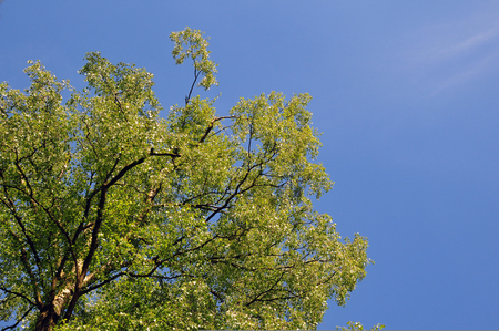 Bright green spring tree top against a blue sunny sky