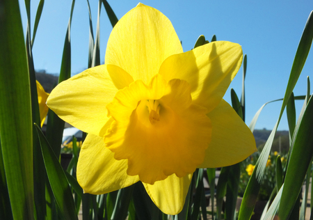 Close up of a vibrant yellow spring daffodil against a bright blue sunlit sky