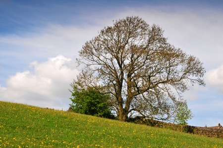 a single oak free on a hillside spring meadow with yellow flowers next to a dry stone wall with farmhouse roof and bright blue sky with white clouds Stock Photo