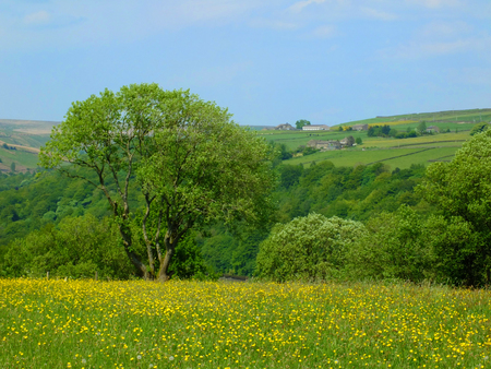 vibrant spring meadow with yellow flowers and surrounding trees with hillside farmland and fields in yorkshire dales countryside with bright blue sky