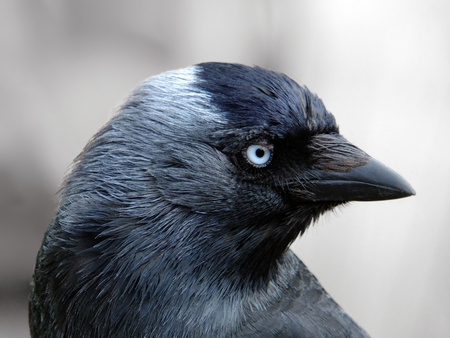 close up portrait of a jackdaw with head filling the frame looking at the camera with blue eyes on a light background Stock Photo