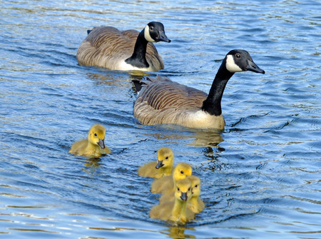 a family of canada gees with yellow fluffy goslings swimming in a blue lake Stock Photo
