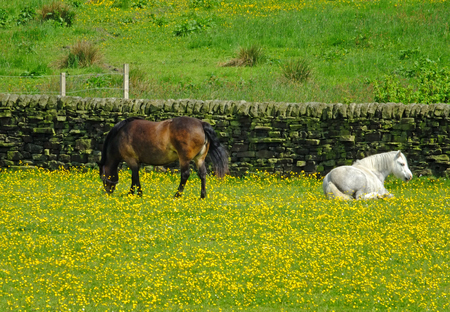 two small white and brown ponies grazing in a field of yellow spring flowers against a stone wall in front of a grass covered pasture Stock Photo
