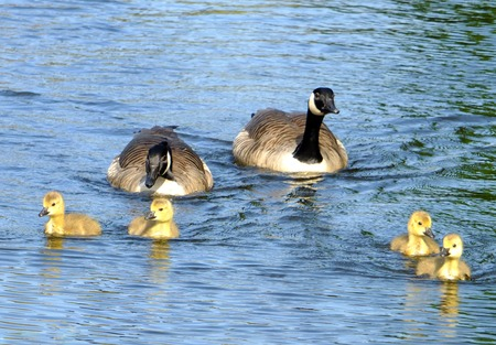 a family of canada geese with yellow fluffy goslings swimming in a blue lake