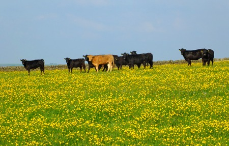 a herd of young cows frazing in a spring meadow in may with bright yellow flowers in the grass and blue sky Stock Photo