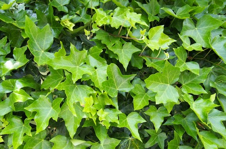 dense growth of ivy covering a wall in bright sunlight
