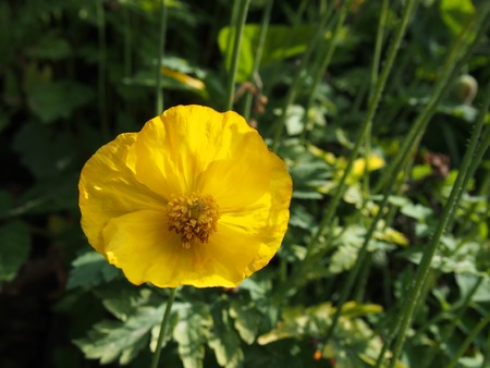 a single yellow welsh poppy in close up against a dark green background of leaves in bright summer sunlight