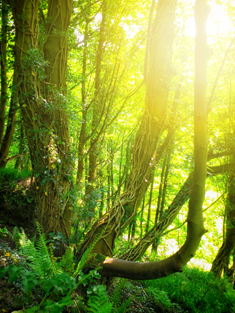 bright morning sunshine shining though ivy covered old trees in bright illuminated misty spring woodland with ivy covered forest floor Stock Photo