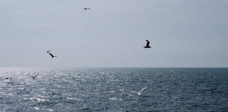 wide panoramic image of seagulls flying over a calm sunlit summer sea with clear blue sky