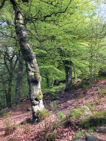 vibrant green early summer forest on a steep slope with old tall twisted beech trees growing in rocky ground and sunshine on bright green leaves