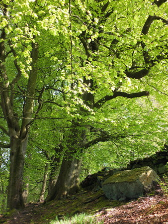 vibrant green early summer forest on a steep slope with tall beech trees growing in rocky ground and sunshine on bright green leaves Stock Photo