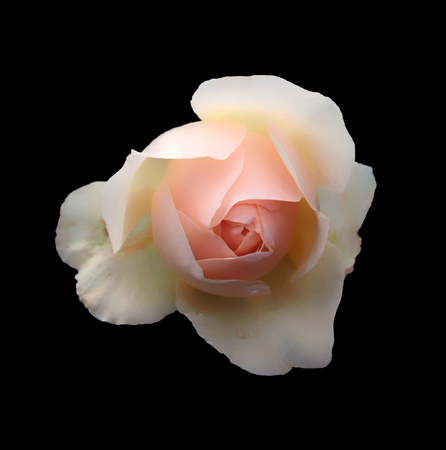 a beautiful single romantic pale pink rose with white glowing outer petals isolated on a black background