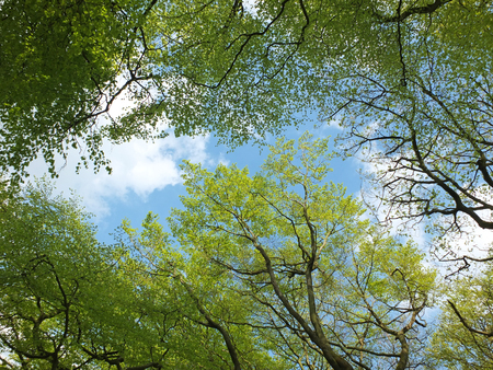 a bright blue spring sky with white clouds viewed through a vibrant green forest canopy Stock Photo