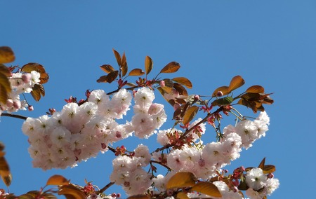 close up of bright pale pink sherry blossom in spring against a bright blue sky