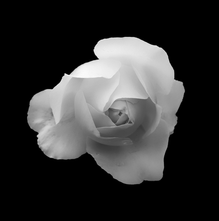 monochrome soft glowing romantic white rose on a black background Stock Photo