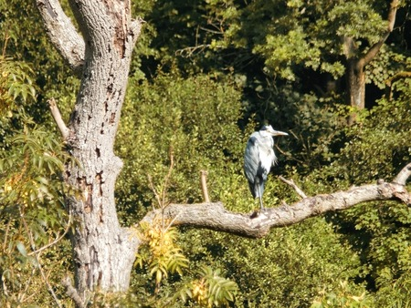 A grey heron perched on a large tree branch or a dead tree with a blurred green woodland background 免版税图像