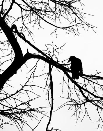 a black crow in silhouette looking down from the branches of a bare winter tree against a dark sky