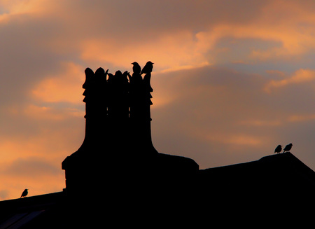 jackdaws and starlings perched on the chimney and roof of a house in silhouette against a glowing cloudy evening sky