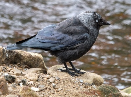 close up of a juvenile jackdaw in profile perched on a rock next to a river Stock Photo